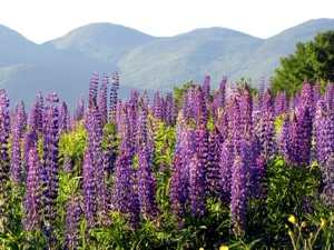 Lupine Fields from nearby Sugar Hill